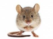 Dịch vụ diệt chuột tại Bắc Ninh